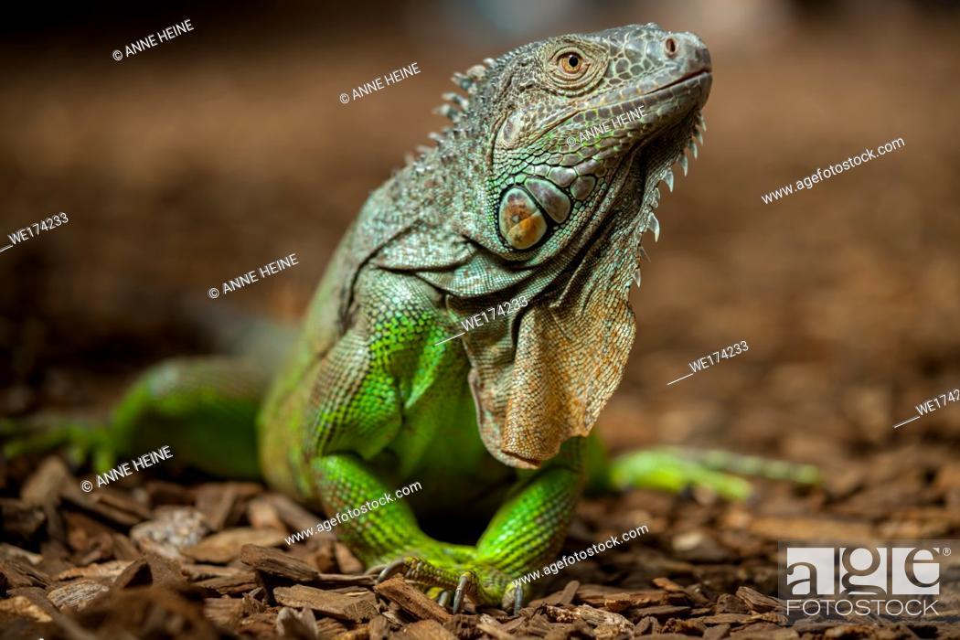 Stock Photo: Green iguana (Iguana iguana). Tropical greenhouse, Dortmund Zoo, Germany.