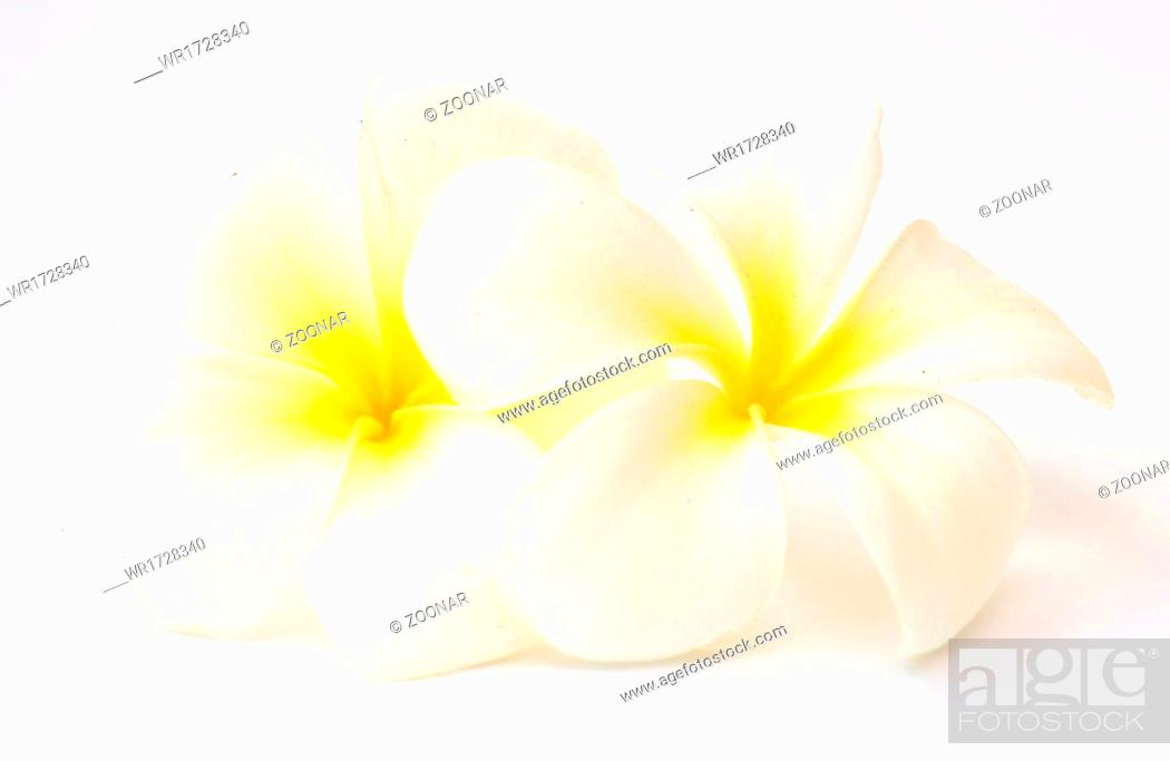Stock Photo: frangipani flowers.