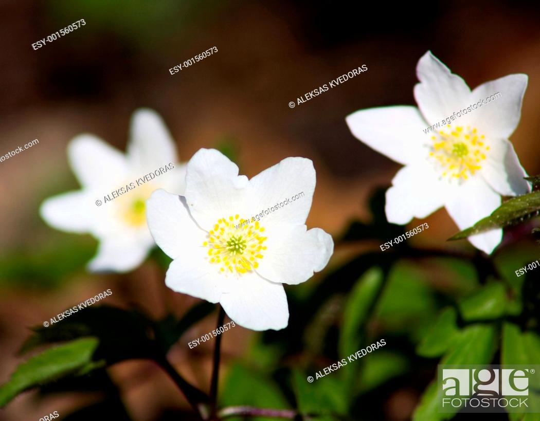 Stock Photo: white flowers, spring.