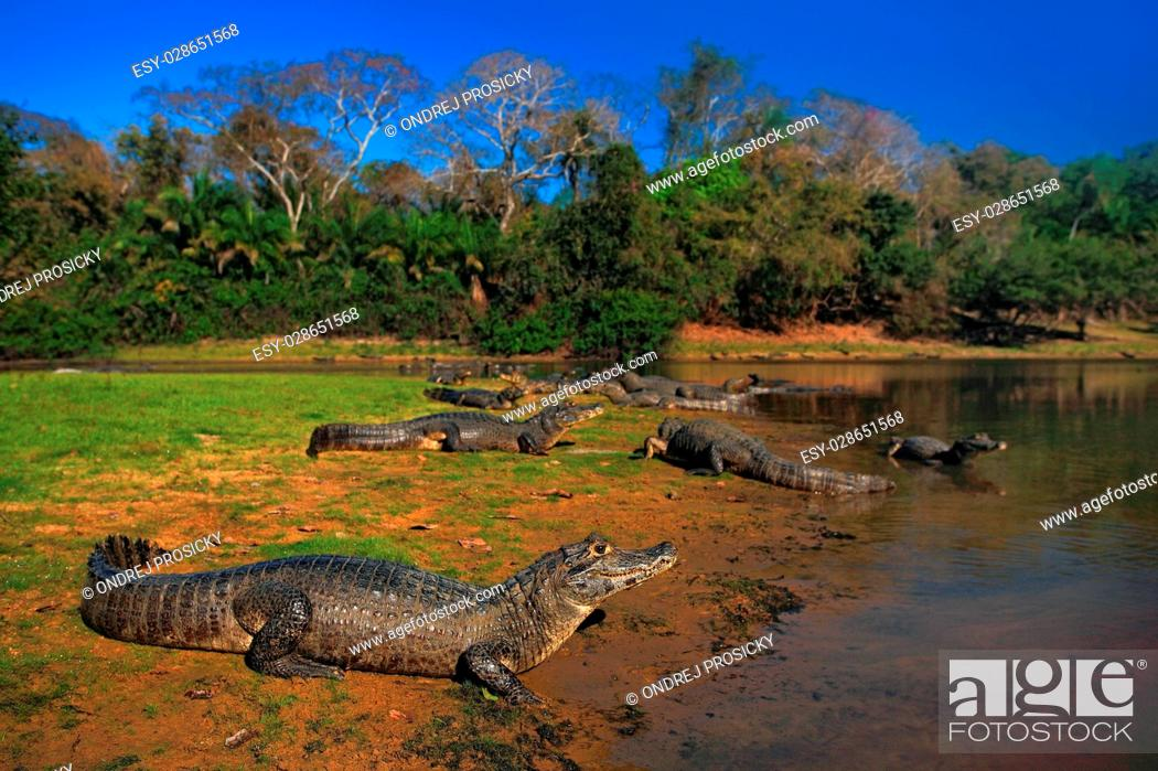 Stock Photo: Caiman, Yacare Caiman, crocodiles in the river surface.