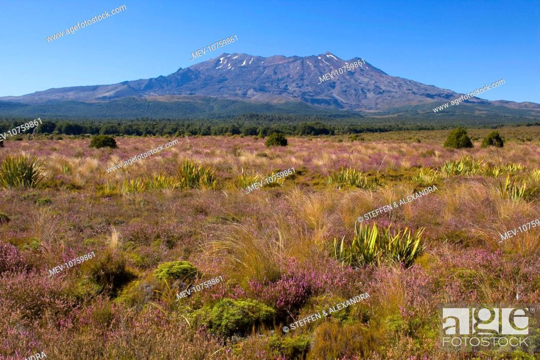 Stock Photo: Mount Ruapehu - blooming heather in autumn with Mount Ruapehu, which is the highest mountain on the North Island, rising up out of the plains.