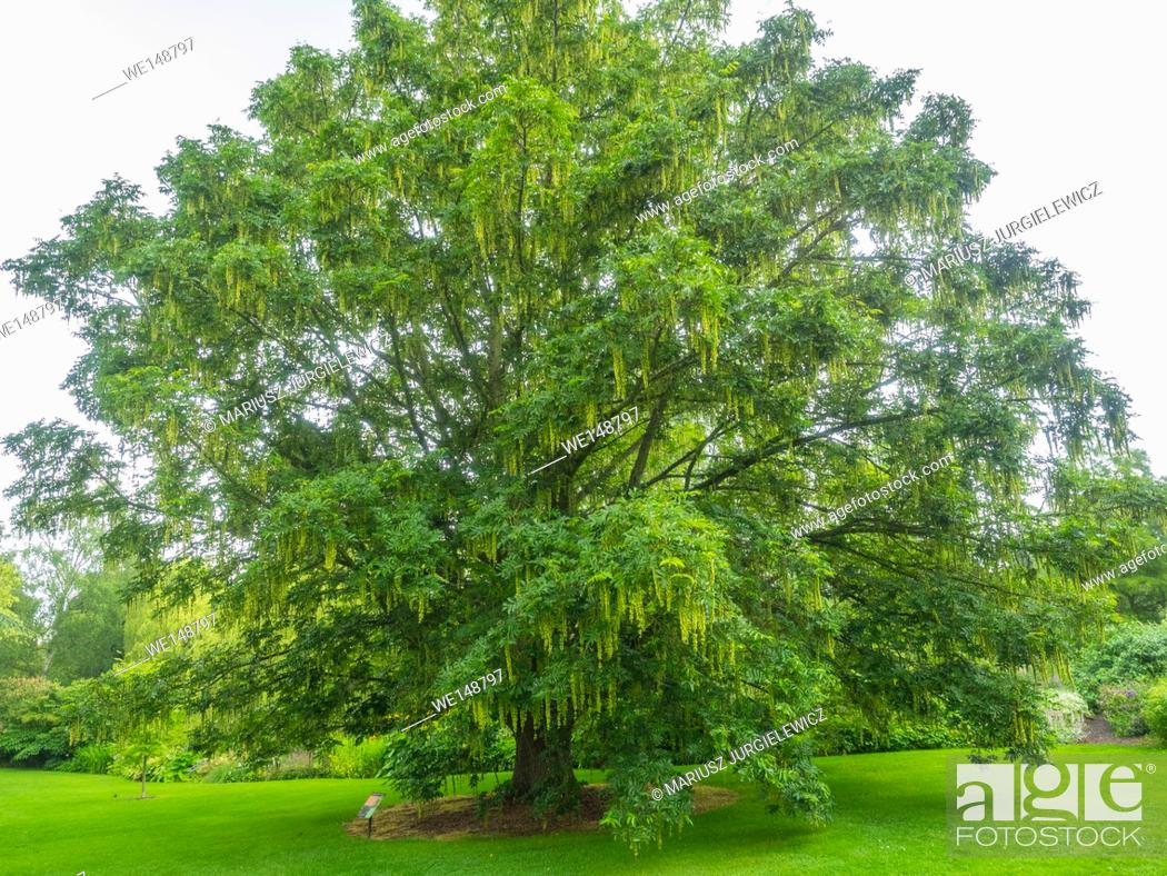 Stock Photo: Japanese wingnut (Pterocarya rhoifolia) is a species of tree in the Juglandaceae family that grows in moist areas along riverbanks and mountain streams.