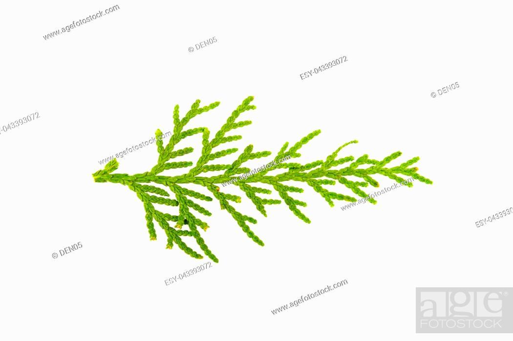 Stock Photo: Sprig of juniper on white background.