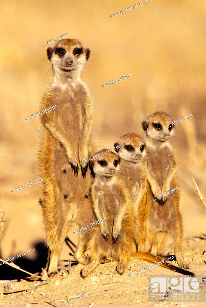 Stock Photo: Meerkat or suricate (Suricata suricatta) family group. Kgalagadi Transfrontier Park, Kalahari. South Africa.