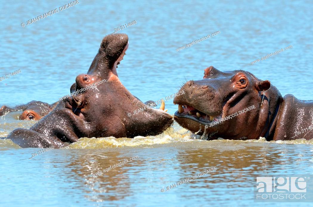 Stock Photo: Hippopotamuses (Hippopotamus amphibius), fighting, Kruger National Park, South Africa, Africa.