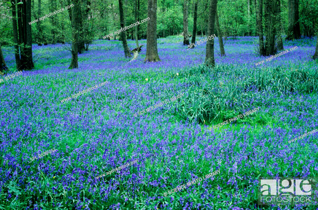 Stock Photo: Bluebell wood. Bluebell flowers (Hyacinthoides non-scripta) in a wood.