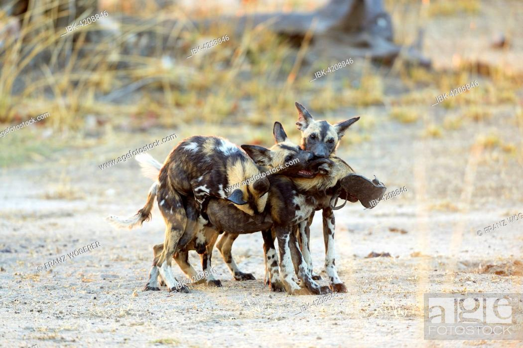 Stock Photo: African wild dogs (Lycaon pictus), juveniles playing, fighting for an old shoe, South Luangwa National Park, Zambia.