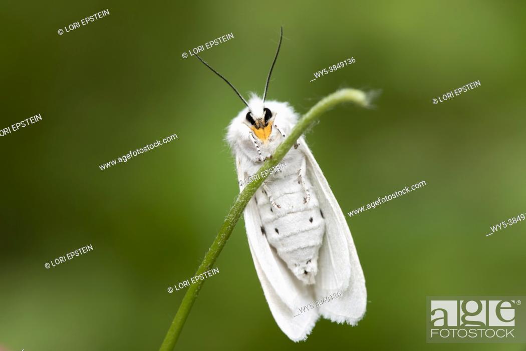 Imagen: Virginian Tiger Moth (Spilosoma virginica) on a green stem.