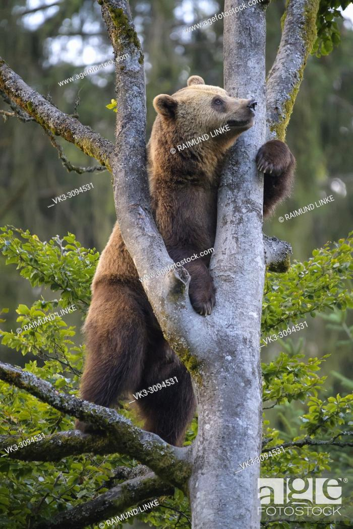 Imagen: European Brown Bears, Ursus arctos, Climbing in tree, Bavaria, Germany.