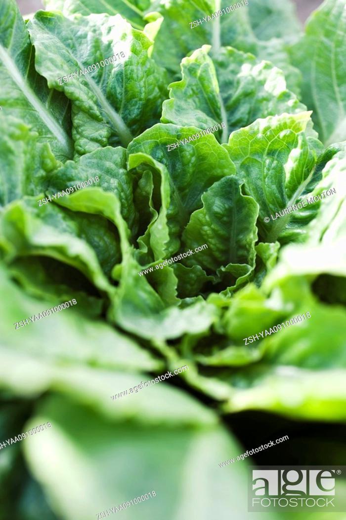 Stock Photo: Chicory, close-up.