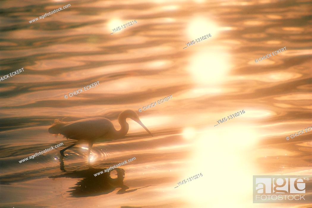 Stock Photo: Shorebird feeding in reflected sunlight.