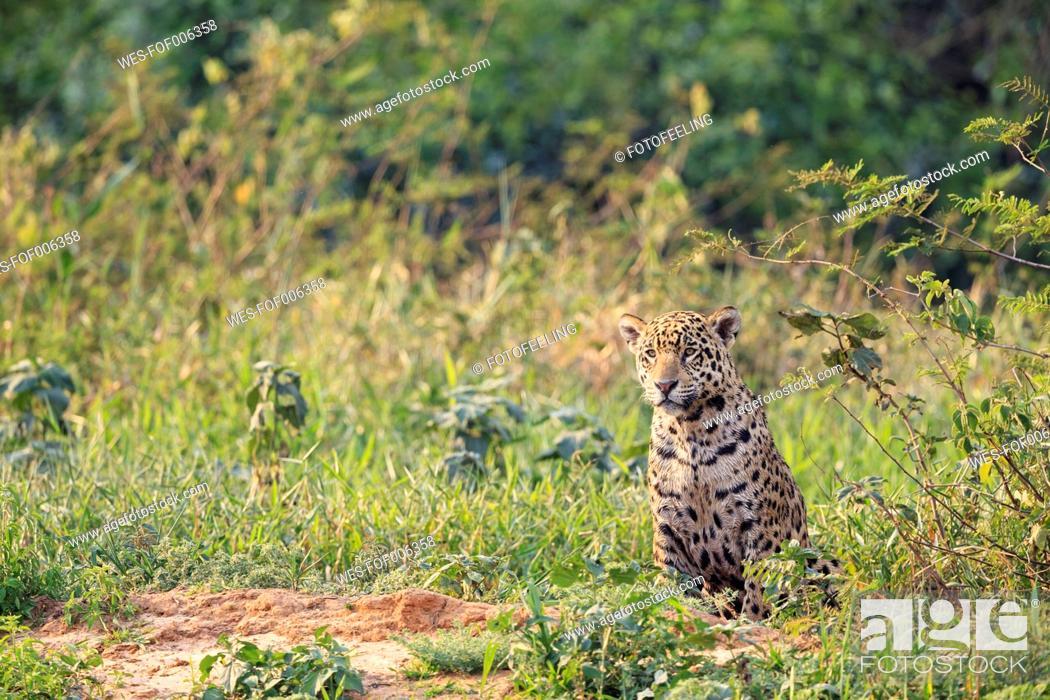 Imagen: South America, Brasilia, Mato Grosso do Sul, Pantanal, Jaguar, Panthera onca.