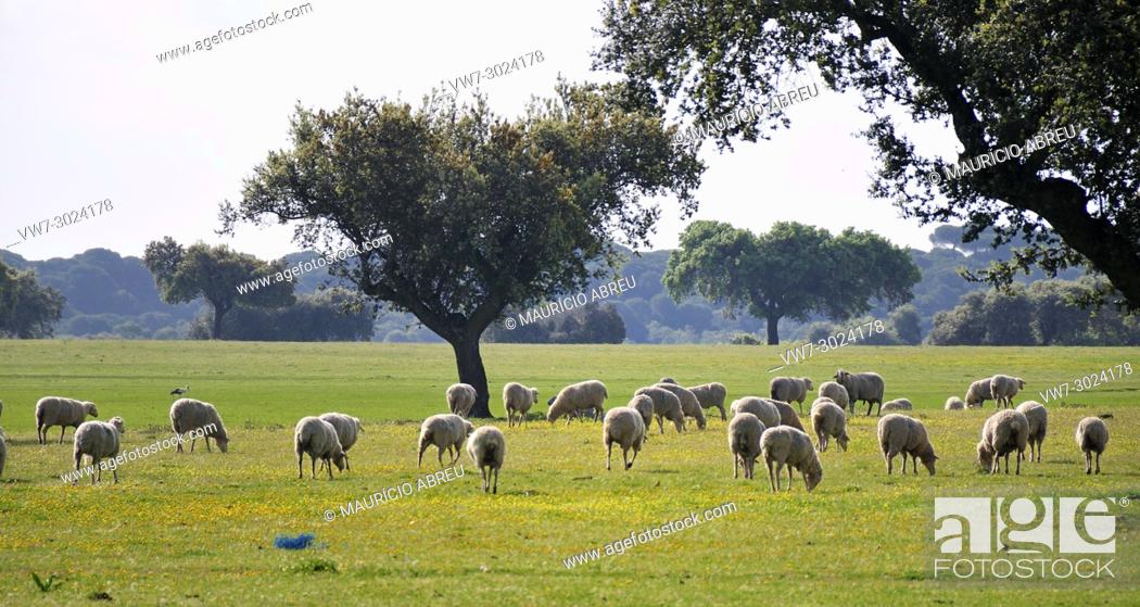Imagen: Holm oaks and a flock of sheep in Alentejo, Portugal.