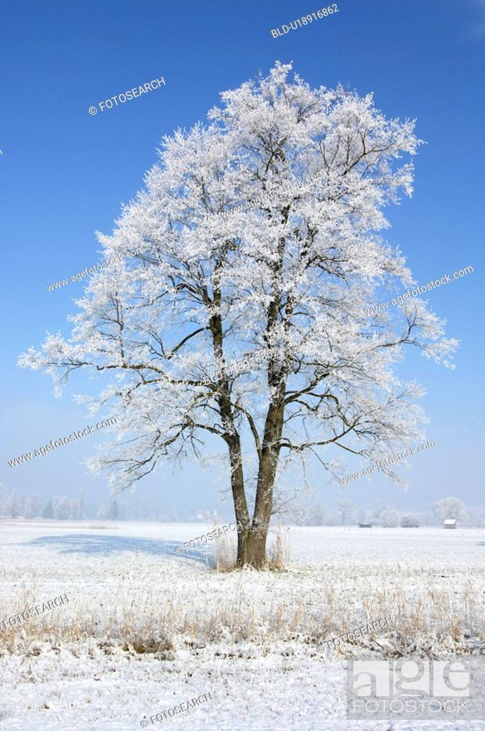 Stock Photo: Frosty tree.