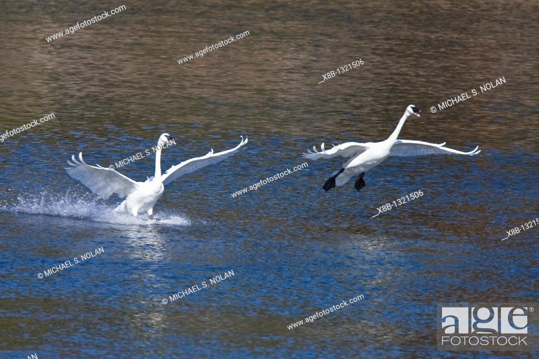 Stock Photo: Adult trumpeter swans Cygnus buccinator on the Yellowstone River in Yellowstone National Park, Wyoming, USA.