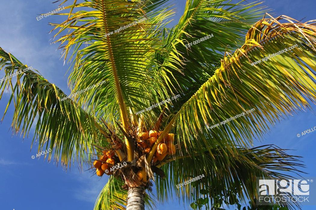 Stock Photo: Coconut tree with coconuts against blue sky, Mauritius.