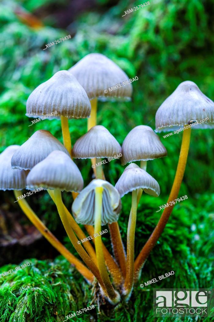 Stock Photo: Beautiful bonnet mushroom (Mycena renati). Saja-Besaya Natural Park. Cabuerniga valley. Cantabria, Spain.
