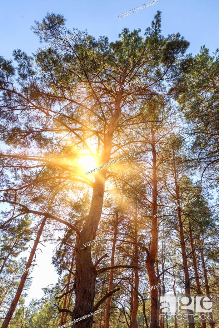 Imagen: pine trees in the sunshine on a summer day, bottom view. Ukraine.