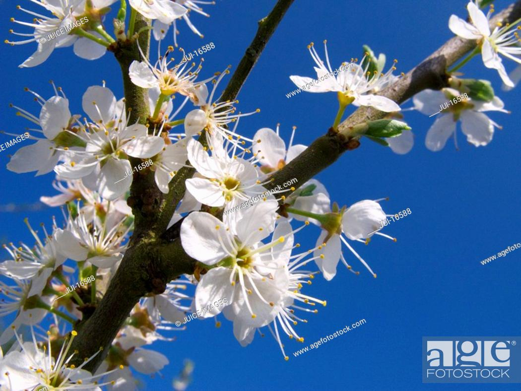 Stock Photo: Close up tree blossoms against blue sky.
