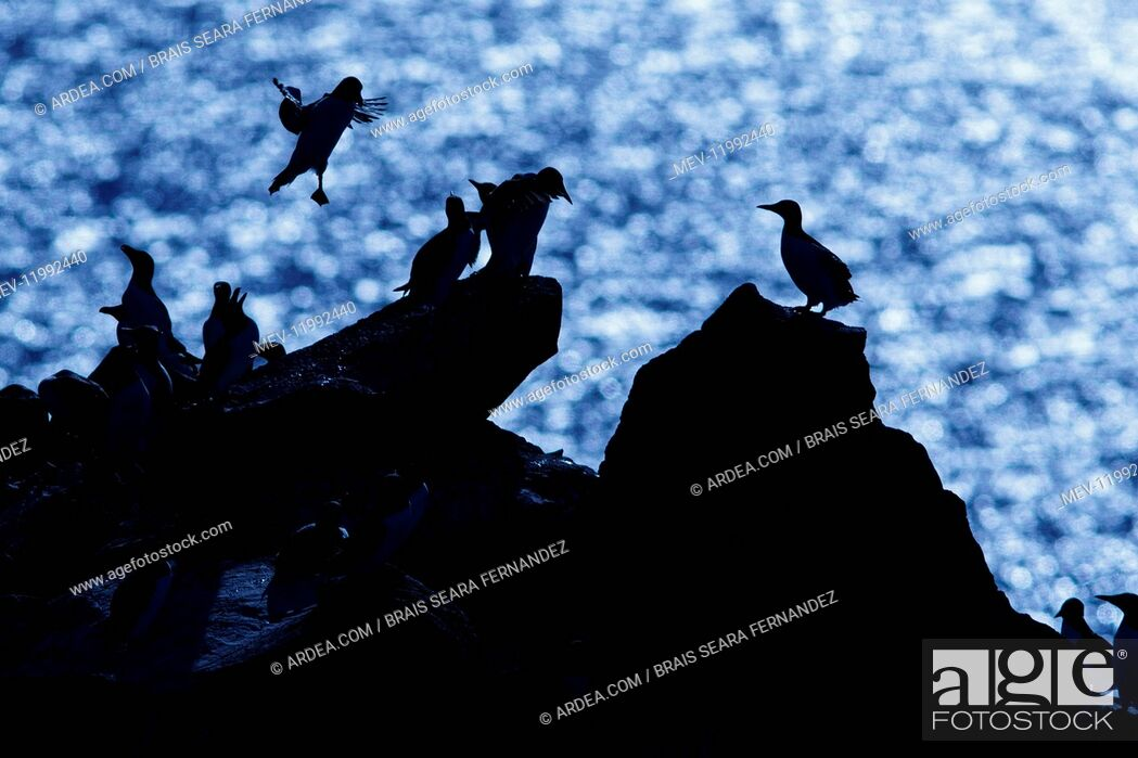 Stock Photo: Common Murre - colony on cliffs - Scotland, United Kingdom.