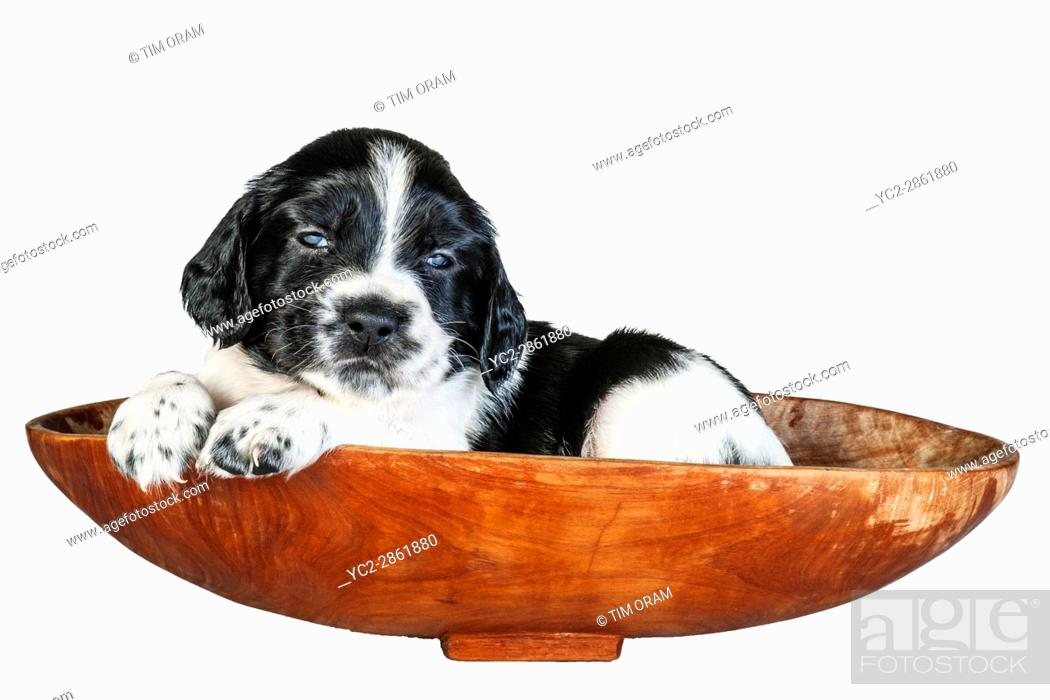 Stock Photo: A 4 week old black and white English Springer Spaniel puppy in a basket.
