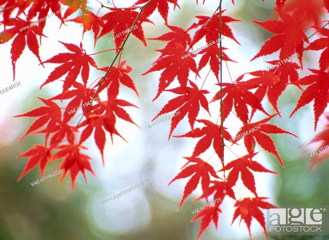 Stock Photo: Turning Leaves Of A Maple.