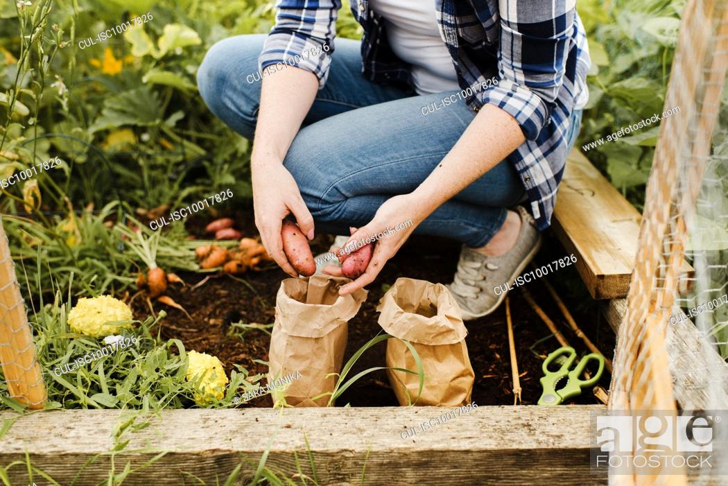 Stock Photo: Woman placing potatoes into brown bag at allotment.