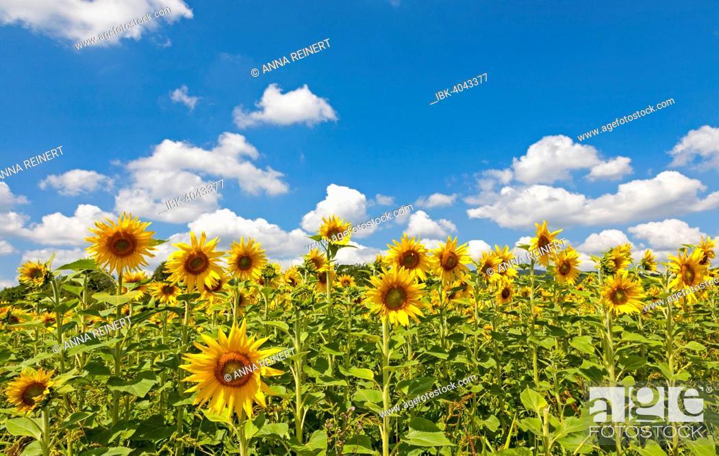Stock Photo: Sunflowers (Helianthus annuus), sunflower field, Southern Palatinate, Palatinate, Rhineland-Palatinate, Germany.