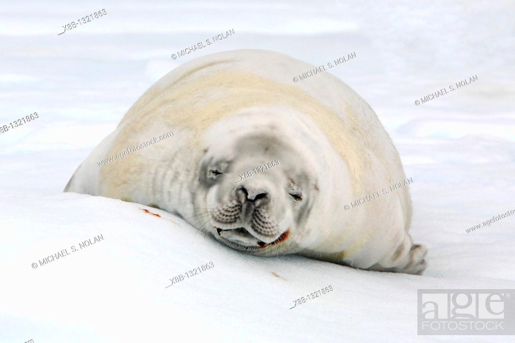 Stock Photo: Adult crabeater seal Lobodon carcinophaga hauled out on an ice floe near Petermann Island near the Antarctic Peninsula.