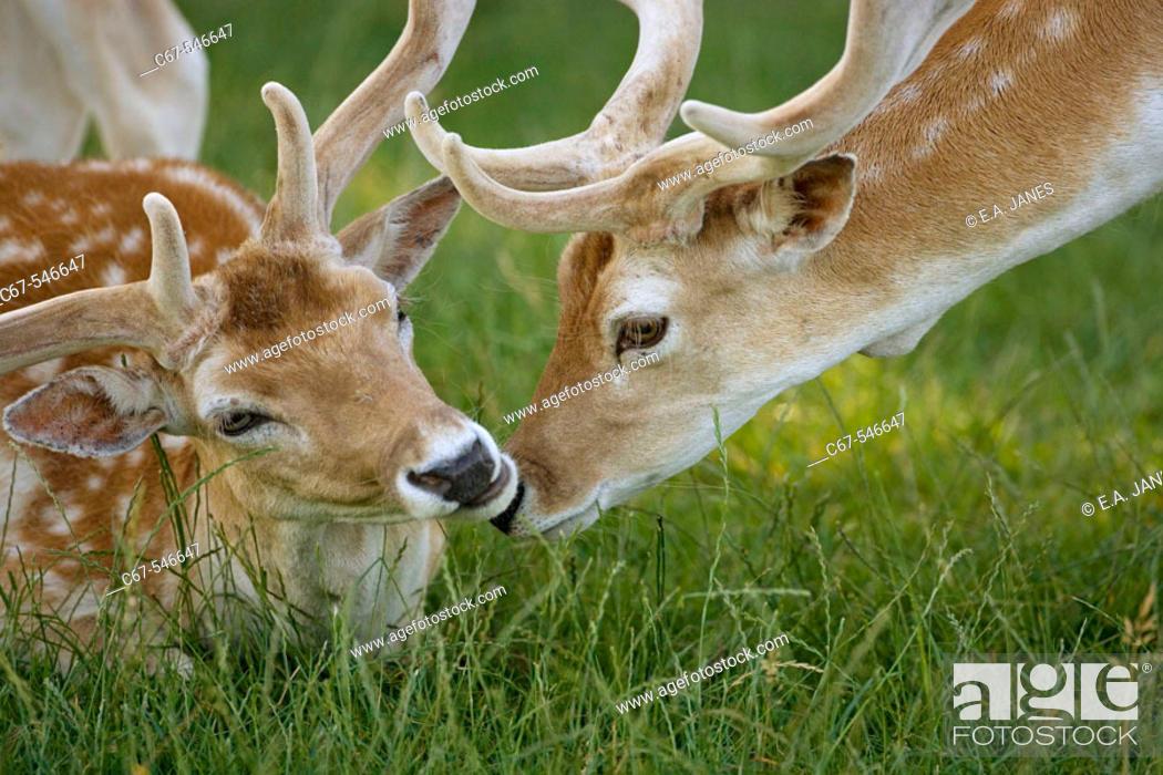 Stock Photo: Fallow Deer (Dama dama). Bucks in velvet.