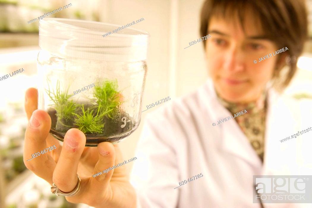 Stock Photo: Pines. In vitro culture. Plant Production and Protection, Biotechnology Laboratory, Neiker Tecnalia, Instituto de Investigación y Desarrollo Agrario, Ganadero.