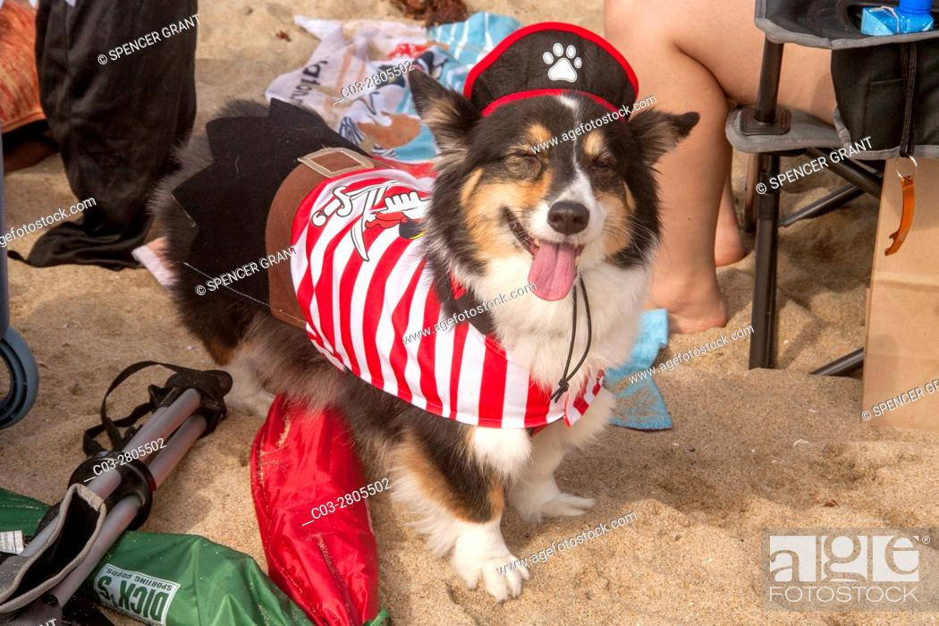Stock Photo: A Welsh Corgi dog wears a lobster costume at a Corgi dog festival on the sand in Huntington Beach, CA.