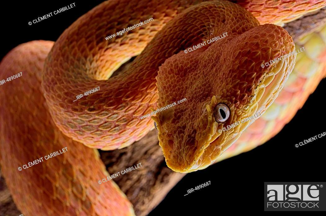 Stock Photo: Eyelash Pit Viper (Bothriechis schlegelii), animal portrait, Costa Rica.