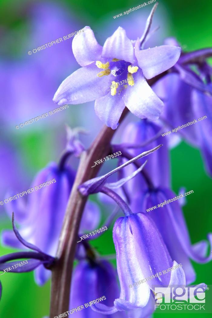 Stock Photo: Hyacinthoides 'Stuart Williams' Bluebell May.