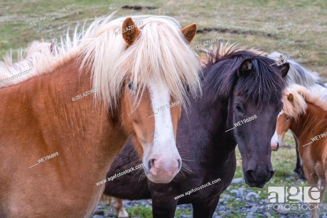 Imagen: Icelandic horses in the northeast part of Iceland.