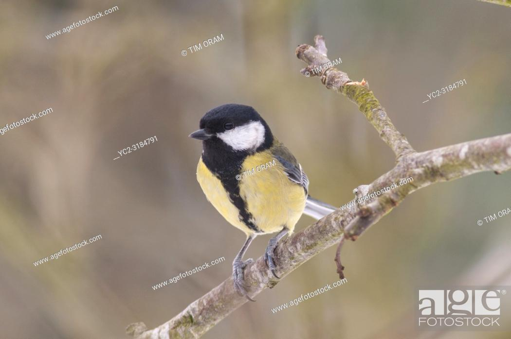 Stock Photo: A Great Tit (Parus major) feeding in freezing conditions in a Norfolk garden.