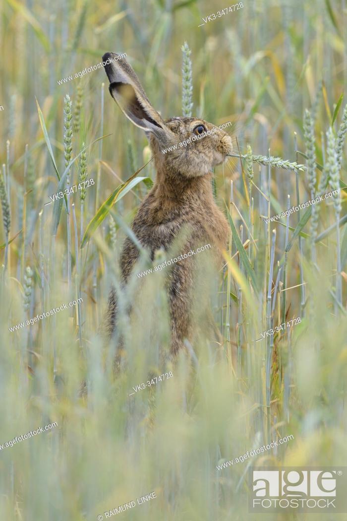 Stock Photo: European brown hare, Lepus europaeus.