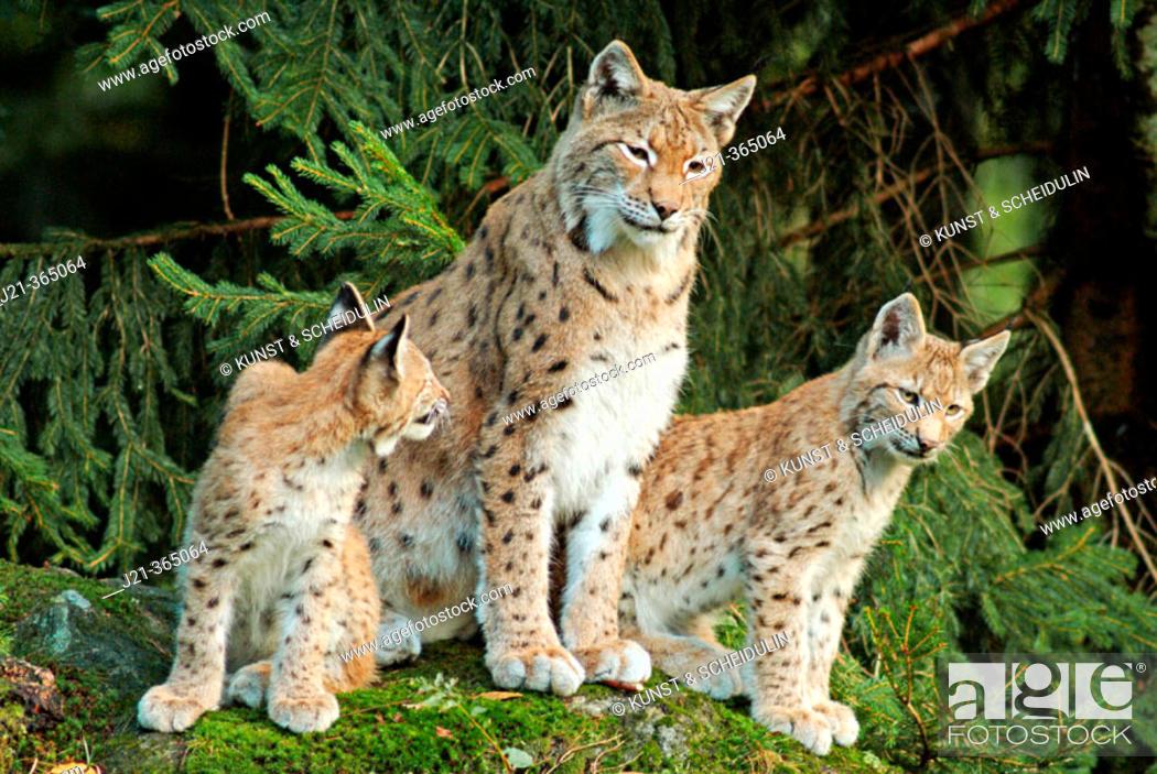 Stock Photo: Female lynx (Lynx lynx) with cubs. Bavaria, Germany.