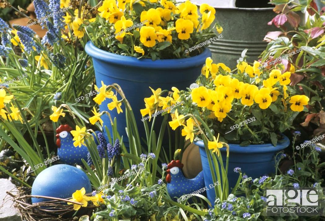 Stock Photo: Yellow pansies in blue pots, narcissi, grape hyacinths.