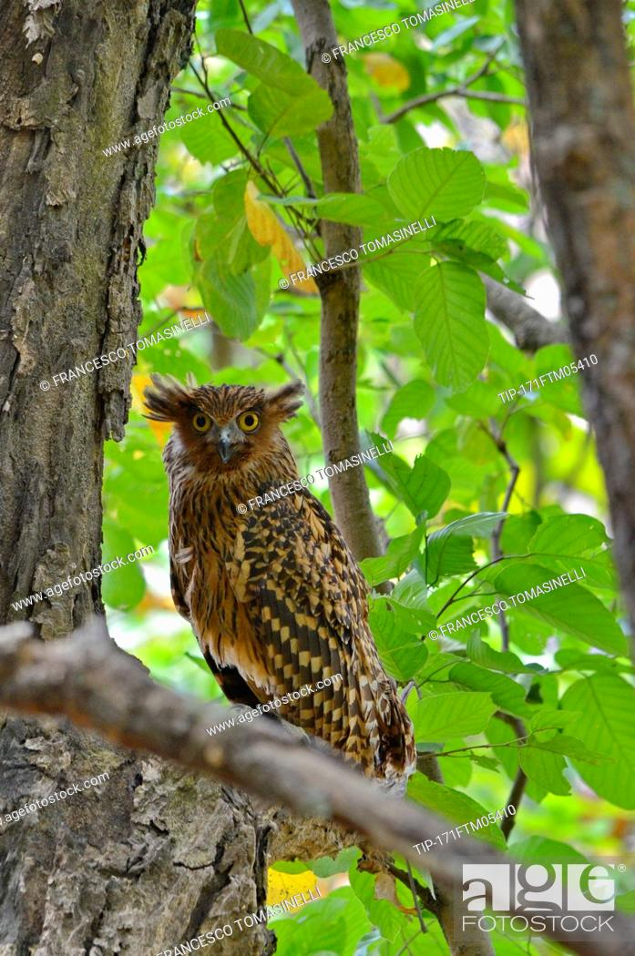 Tawny Fish Owl Bubo Flavipes Endemic To India Stock Photo Picture And Rights Managed Image Pic Tip 171ftm05410 Agefotostock