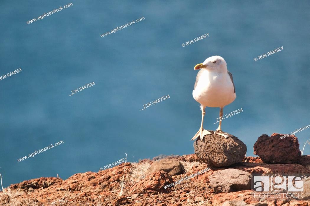 Stock Photo: Seagull on a rock in Madeira island, Portugal.