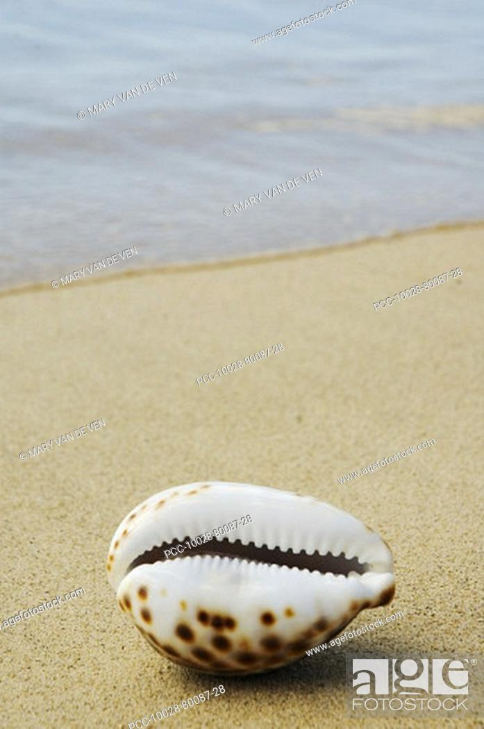 Stock Photo: Opening side of cowrie shell, laying on sandy beach, ocean background.