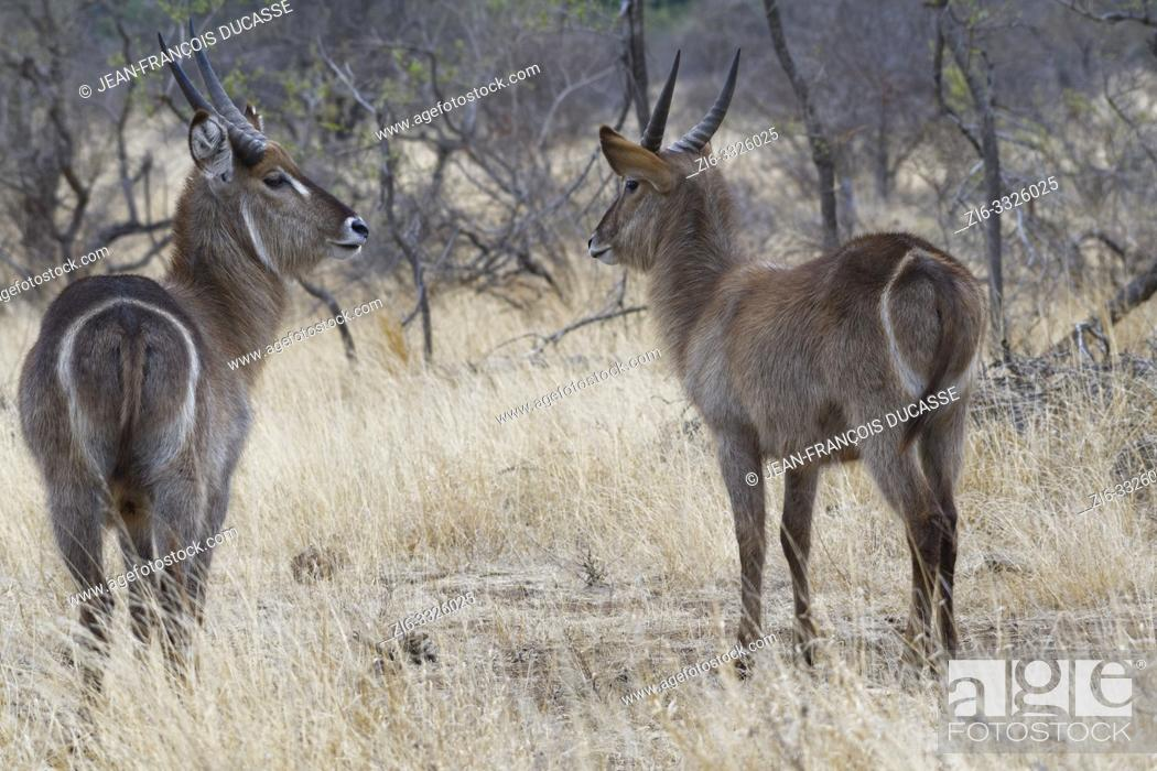 Stock Photo: Common waterbucks (Kobus ellipsiprymnus), two adult males standing in the dry grassland, attentive, Kruger National Park, South Africa, Africa.