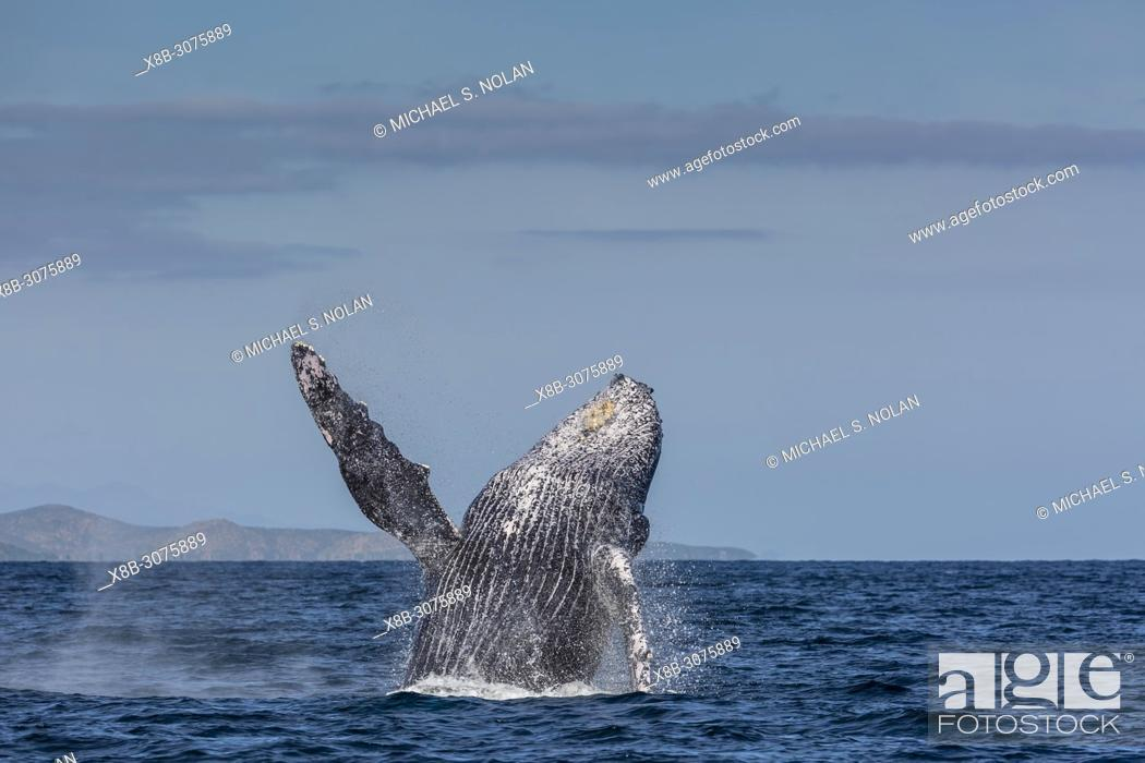 Stock Photo: Adult humpback whale, Megaptera novaeangliae, breaching in the shallow waters of Cabo Pulmo, BCS, Mexico.