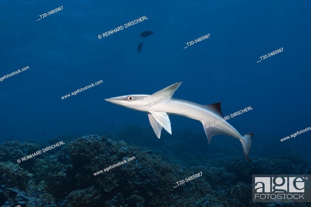 Imagen: Suckerfish, Echeneis naucrates, Fakarava, Tuamotu Archipel, French Polynesia.