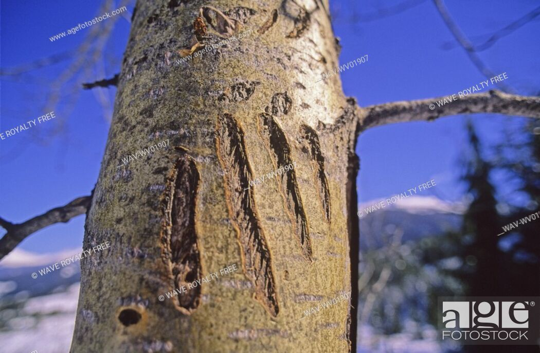Stock Photo: Grizzly Bear claw marks on tree, Whistler Mountain.