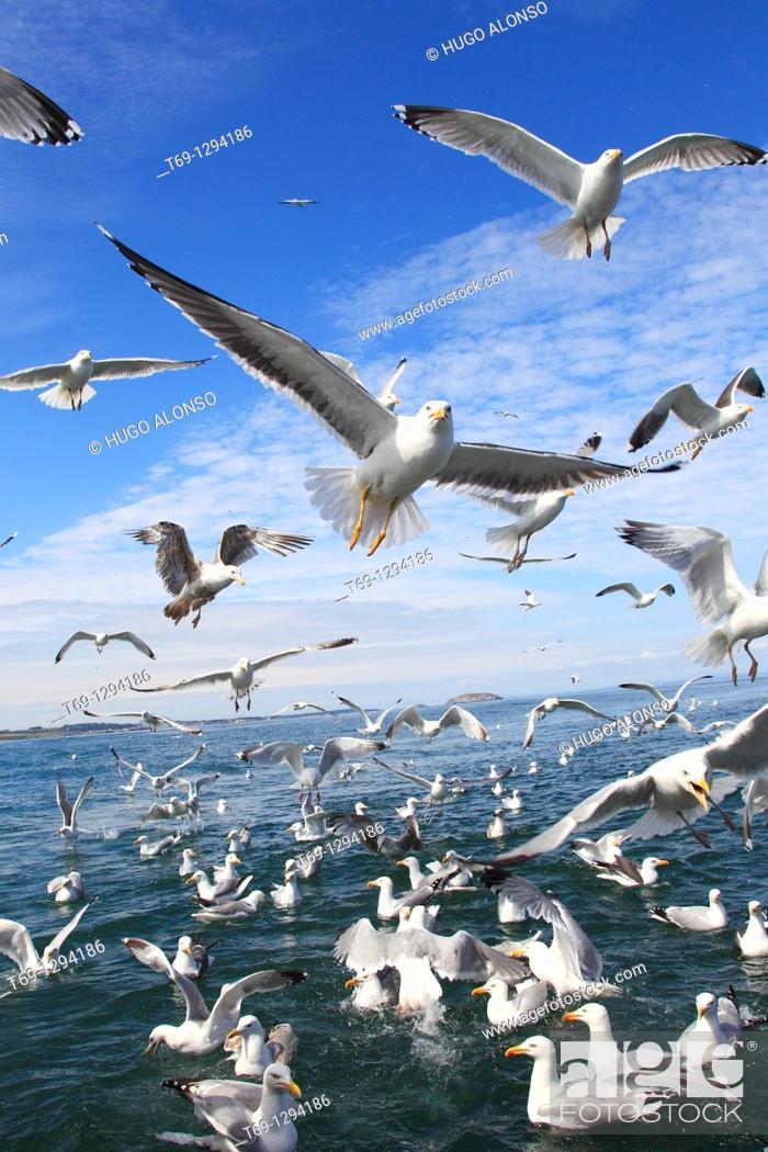 Stock Photo: European Herring Gull (Larus argentatus) feeding, Scotland.