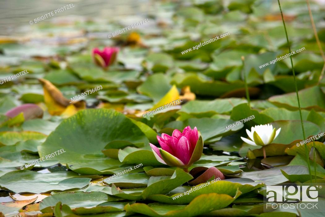 Stock Photo: Red and white water lilies in the lake.