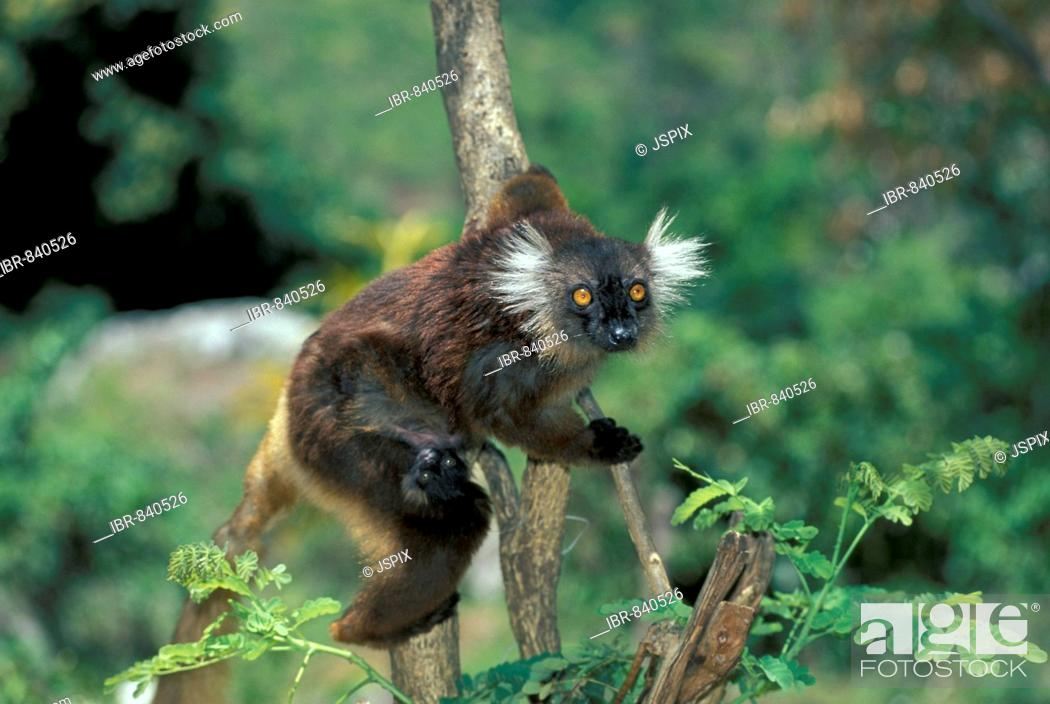 Stock Photo: Black Lemur (Eulemur macaco), adult with young in a tree, Nosy Komba, Madagascar, Africa.