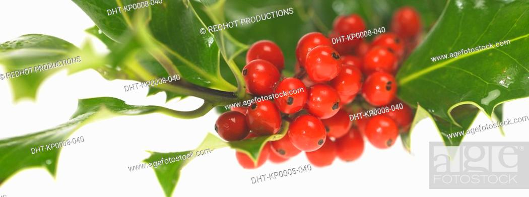Stock Photo: Sprig of Holly.